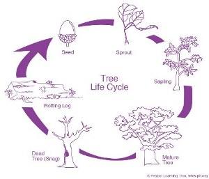 PLT-tree-lifecylce-diagram